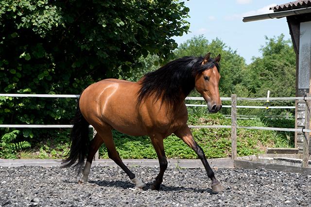Aramis-platz-12_meine_spanischen_Pferde.jpg