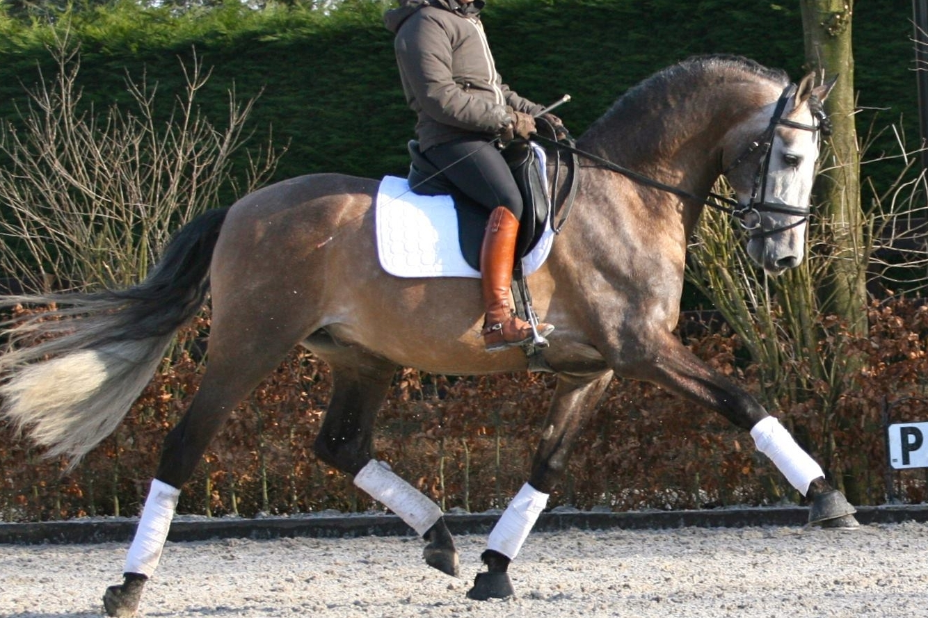 "Breeding show Holland 2009 - Solidago du Bel Air, who was sold to Holland, has been awarded ""Campeon Joven del Concurso""."