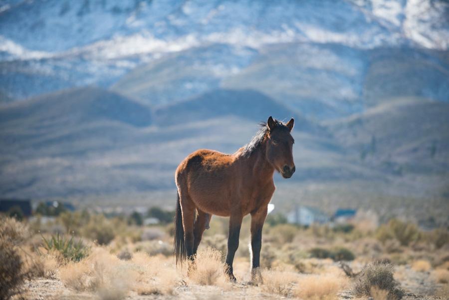 Wild Horses-Nevada-2018