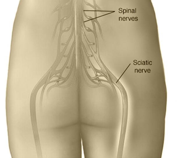 Sciatic Nerves