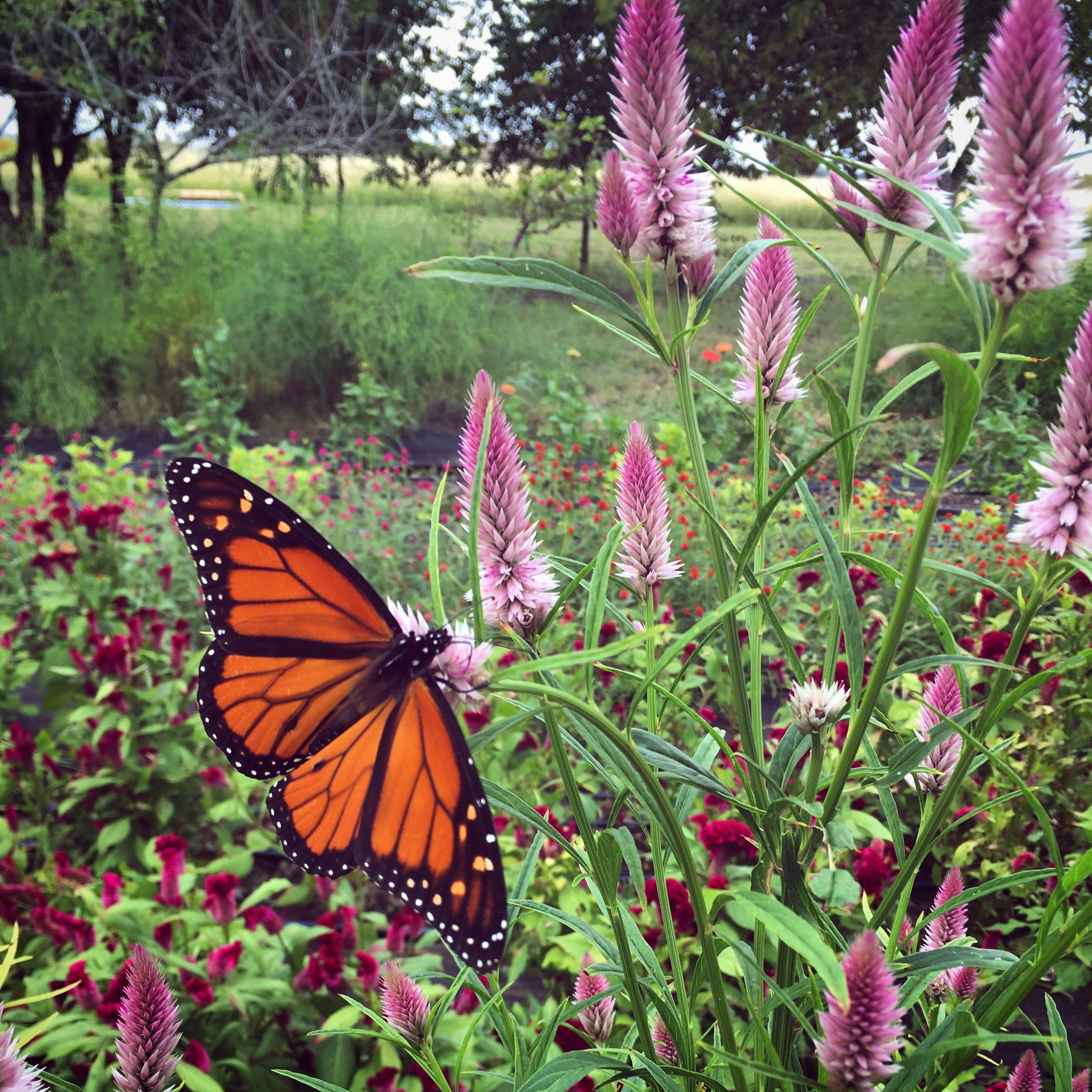 Monarch on celosia