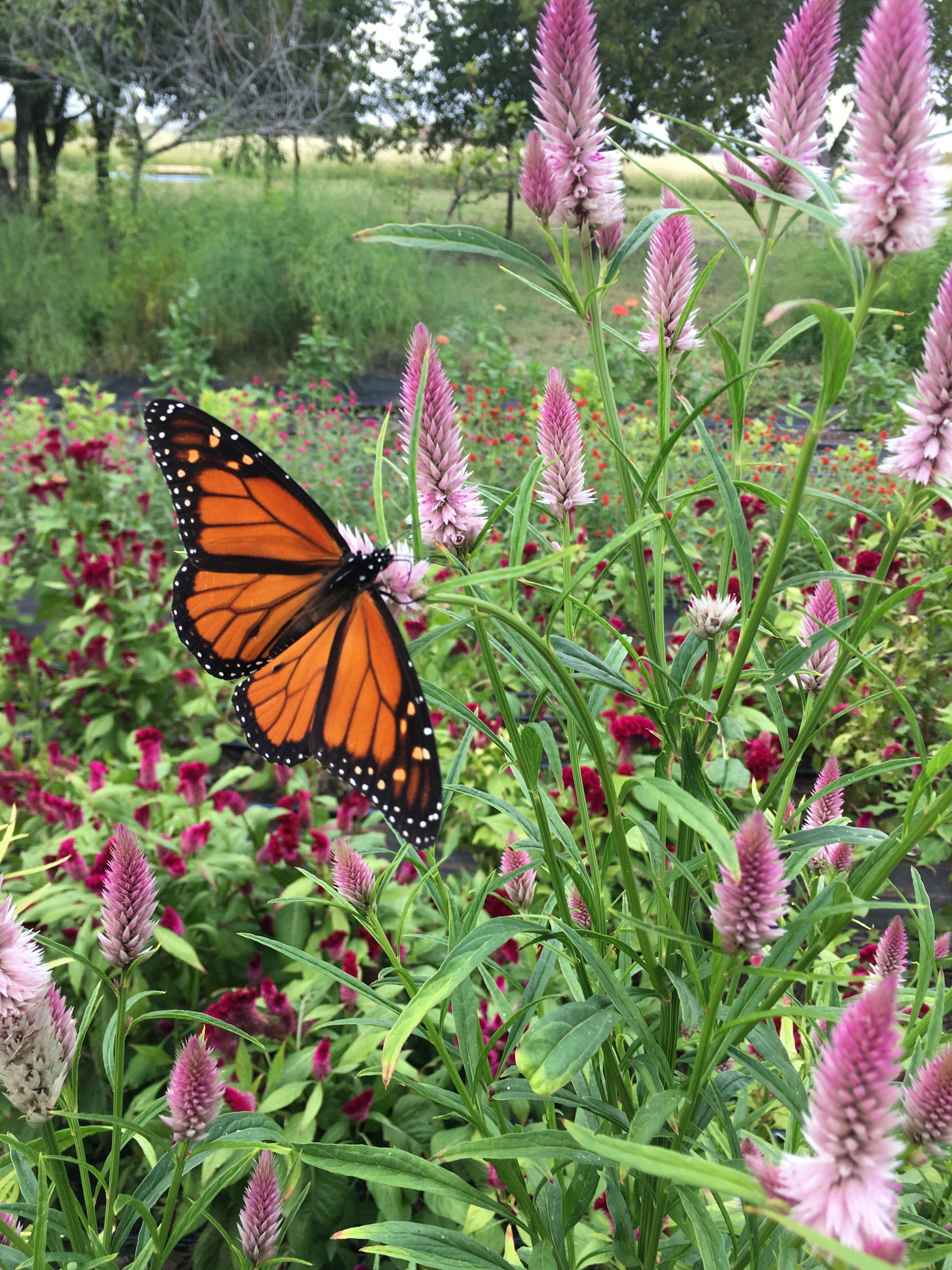 Monarch on celosia at Grassdale Farm
