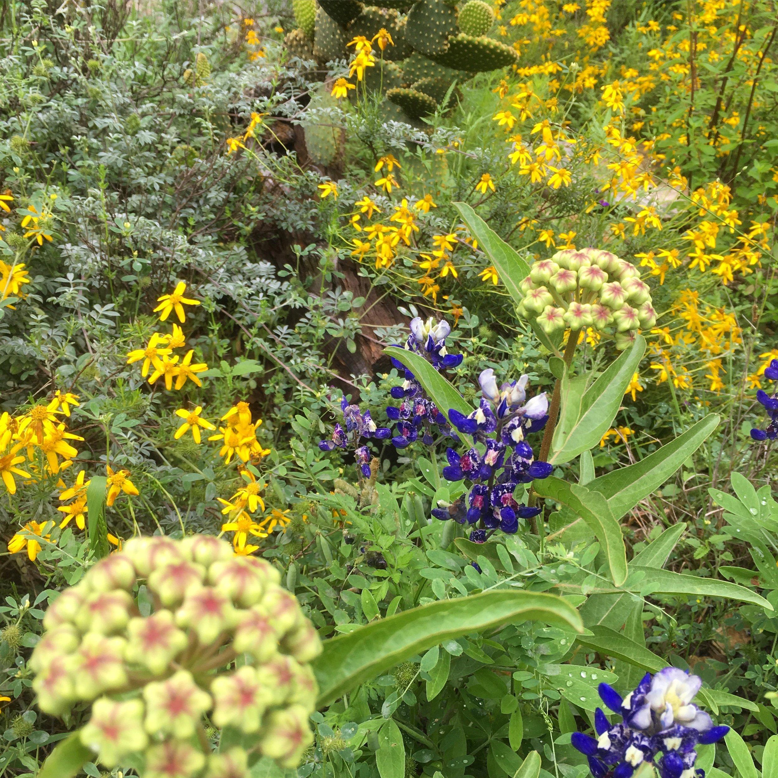 Antelope Horn milkweed and bluebonnets