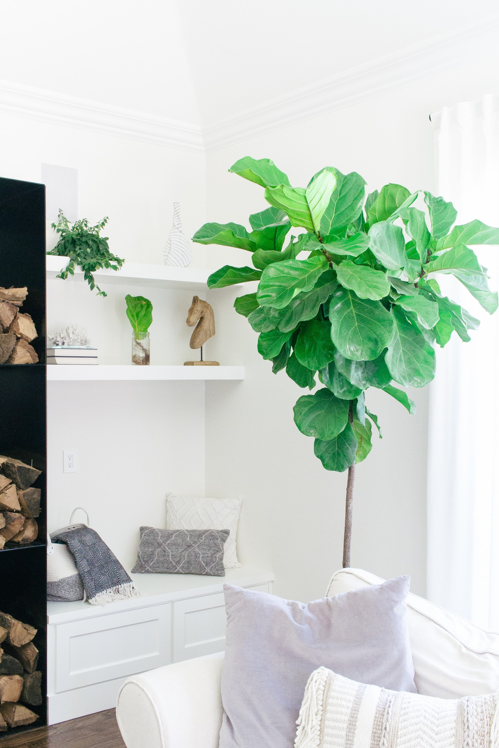 Our House Plants - Fiddle Leaf Fig Care Tip