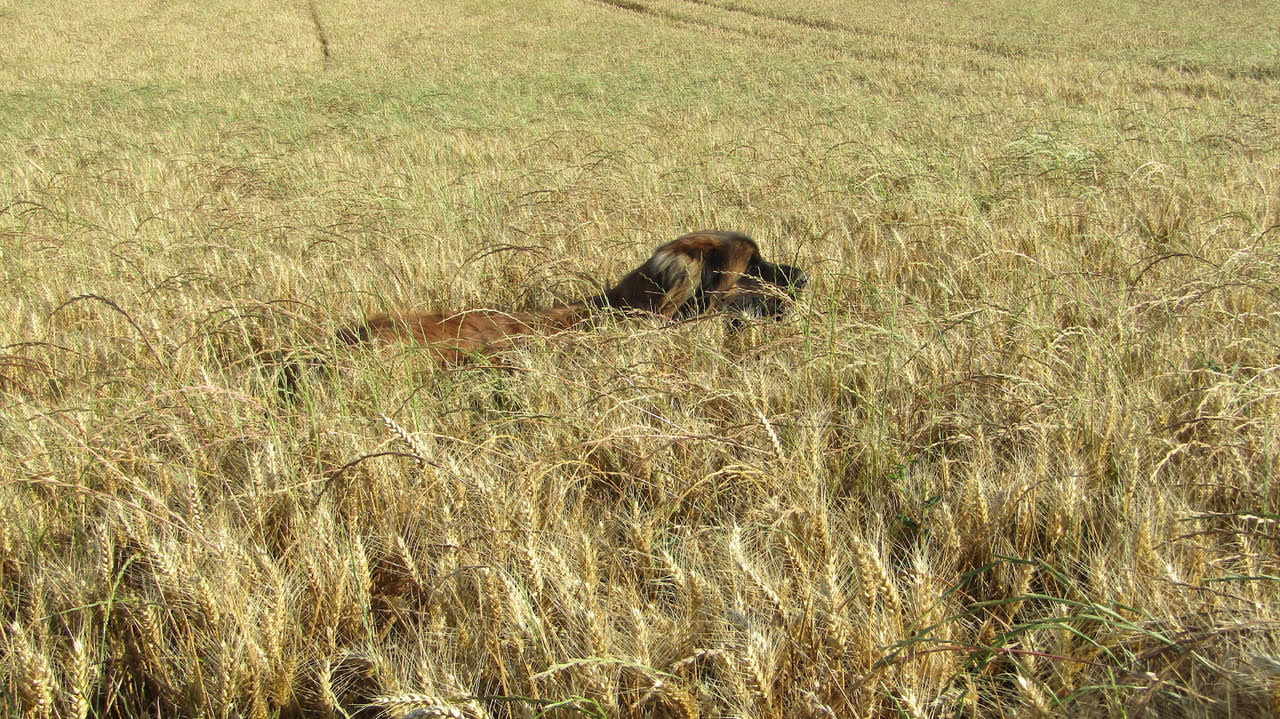 A photo taken by my bed-and-breakfast host of her dog enjoying a wheat field in Auvers