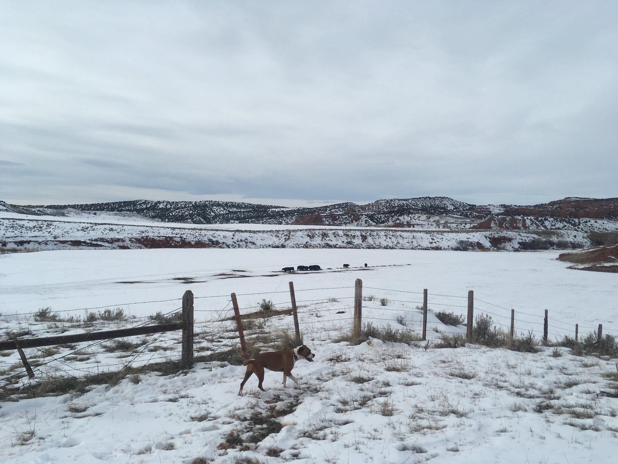 bulls on the feed ground. 1/18/18