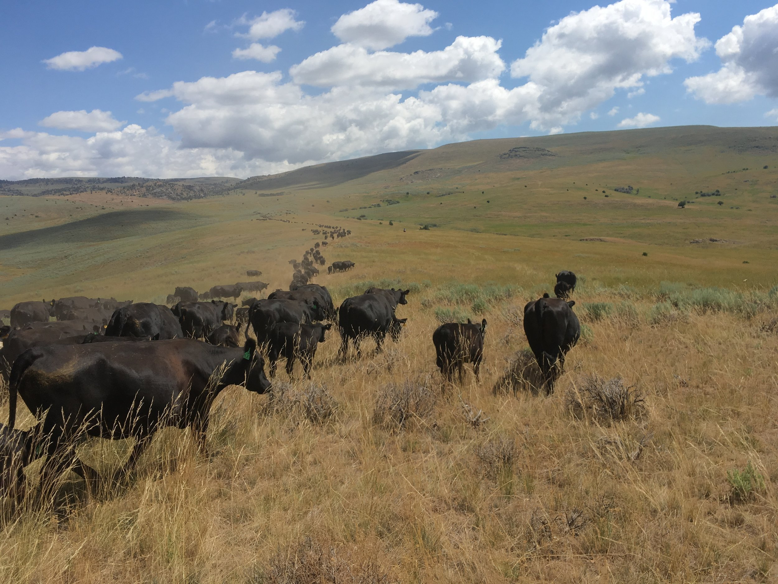 """The cows """"strung out"""" headed for the mountain."""