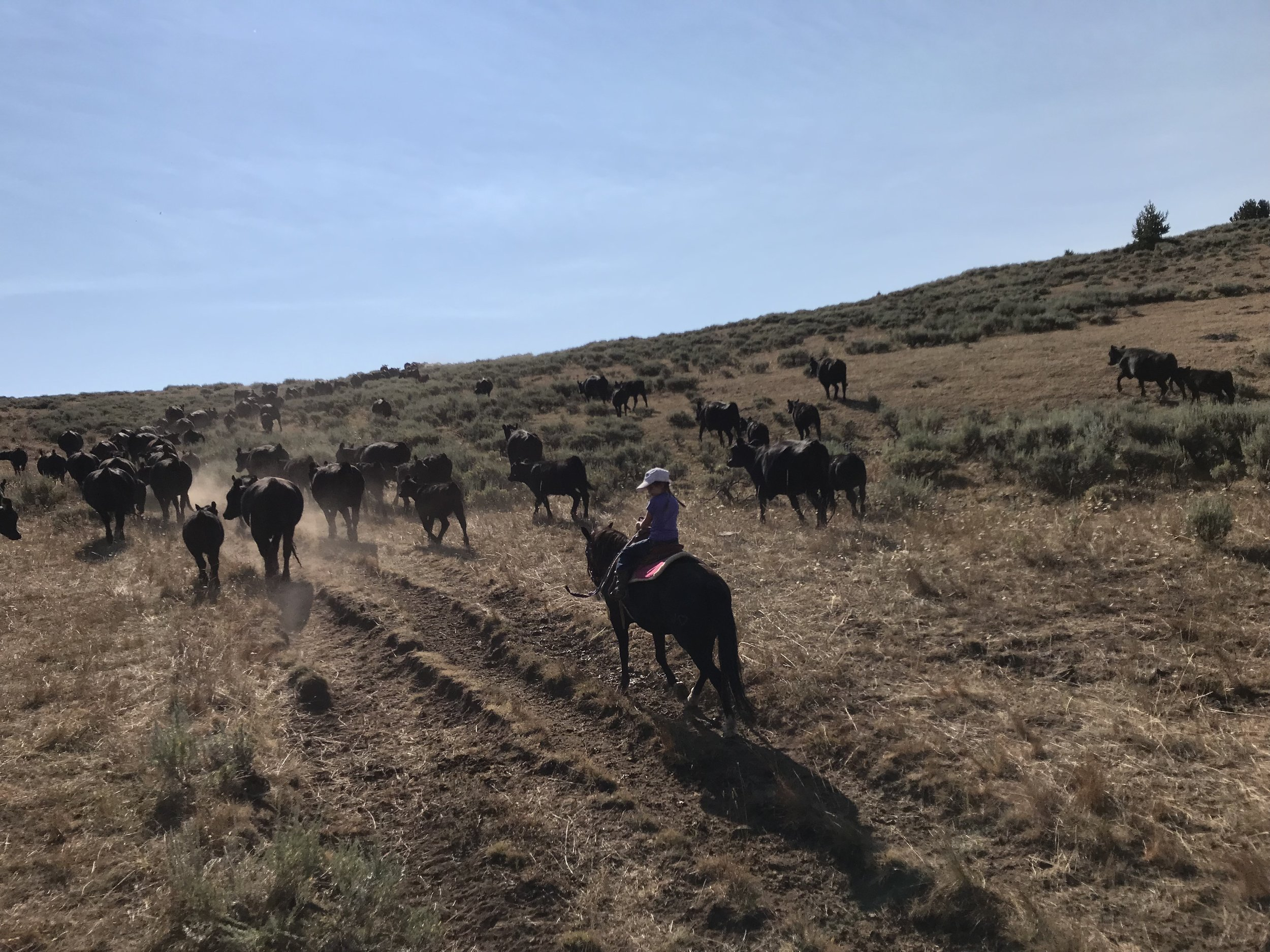 Kicking cows up the hill.