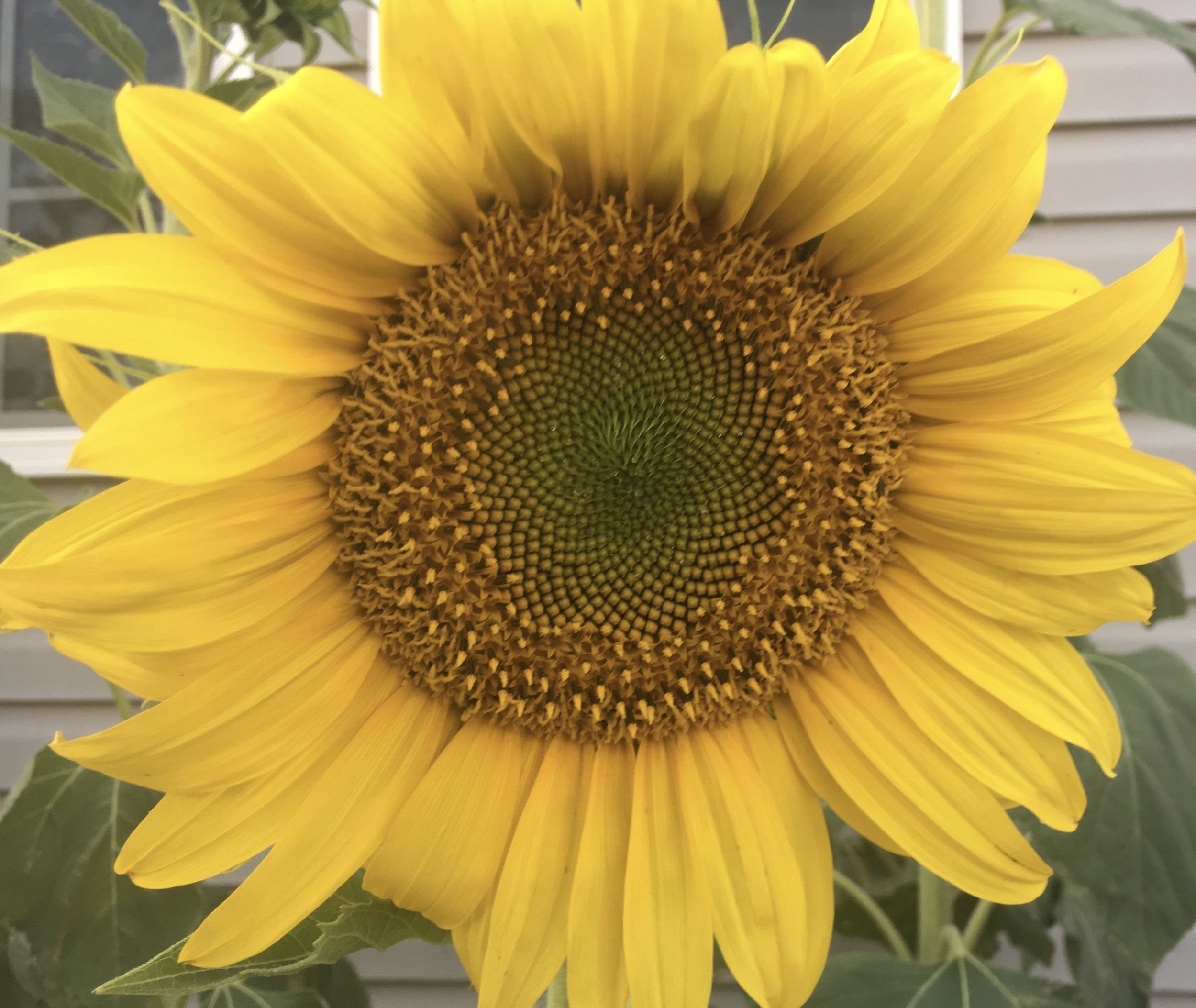 One of my sunflowers I grew this year.