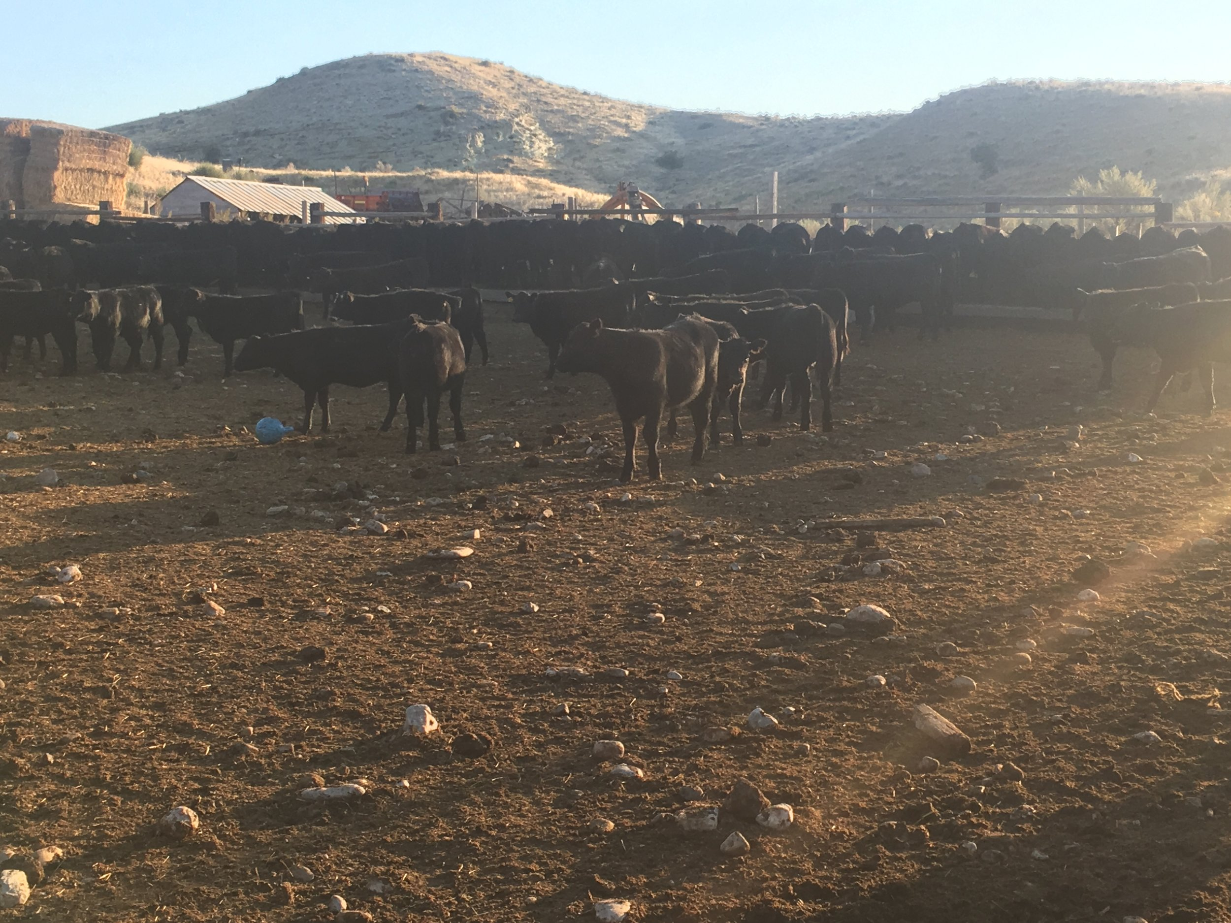 Weaned calves eating and walking around. You can see that my mother even gave them a ball to play with this year.