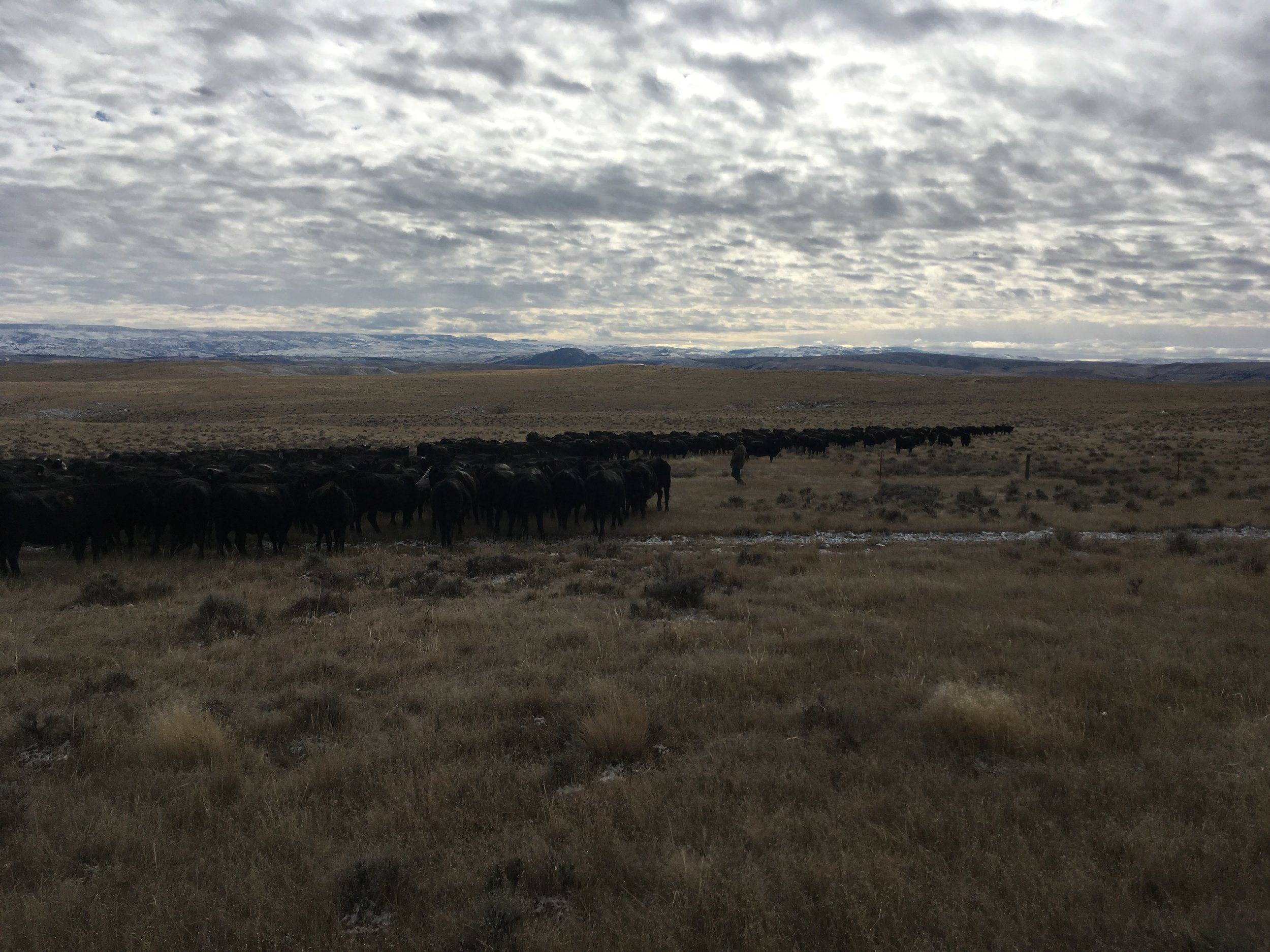 Turning them through the gate into the winter pasture on Wednesday.