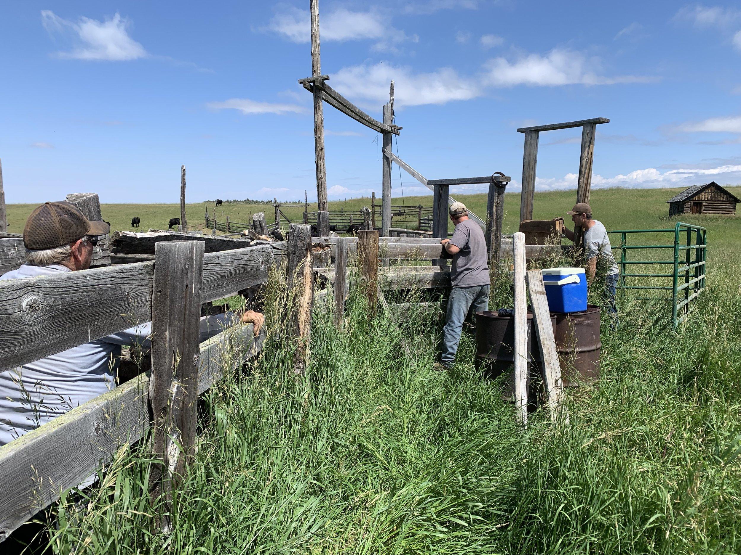 Brandon, Daniel and Vernon getting the calves vaccinated.