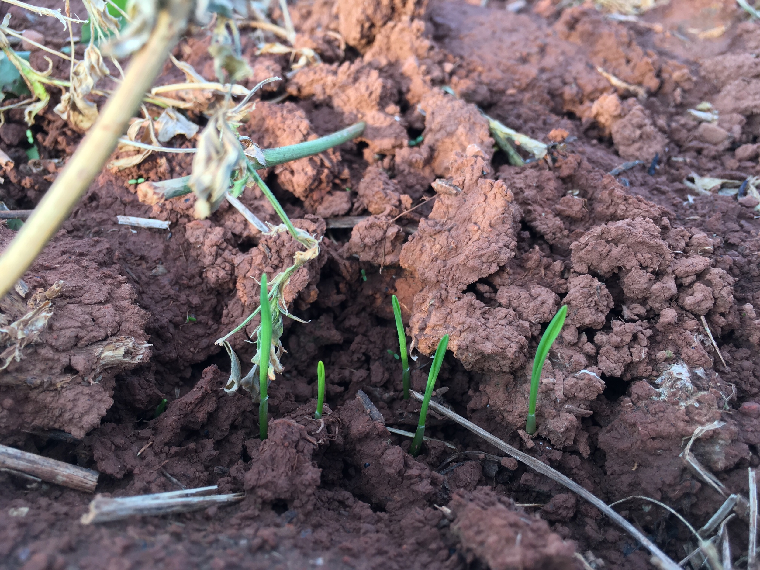 Winter wheat 3 days after planting.