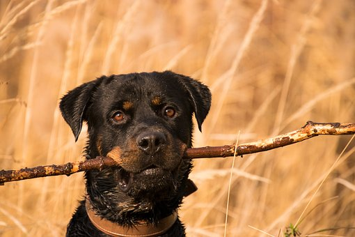 Sticks can cause expensive vet bills and allow a dog to control a resource.