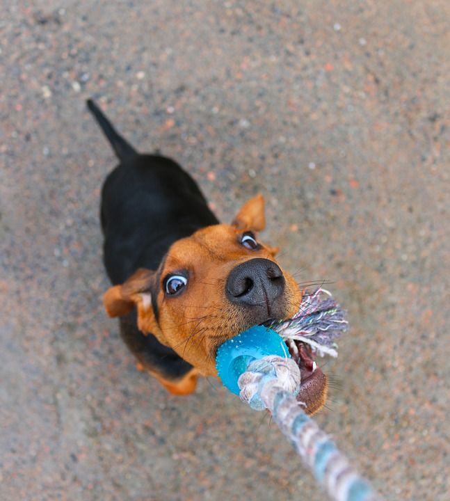 Tug of war games reinforce exactly the behaviour you don't want.