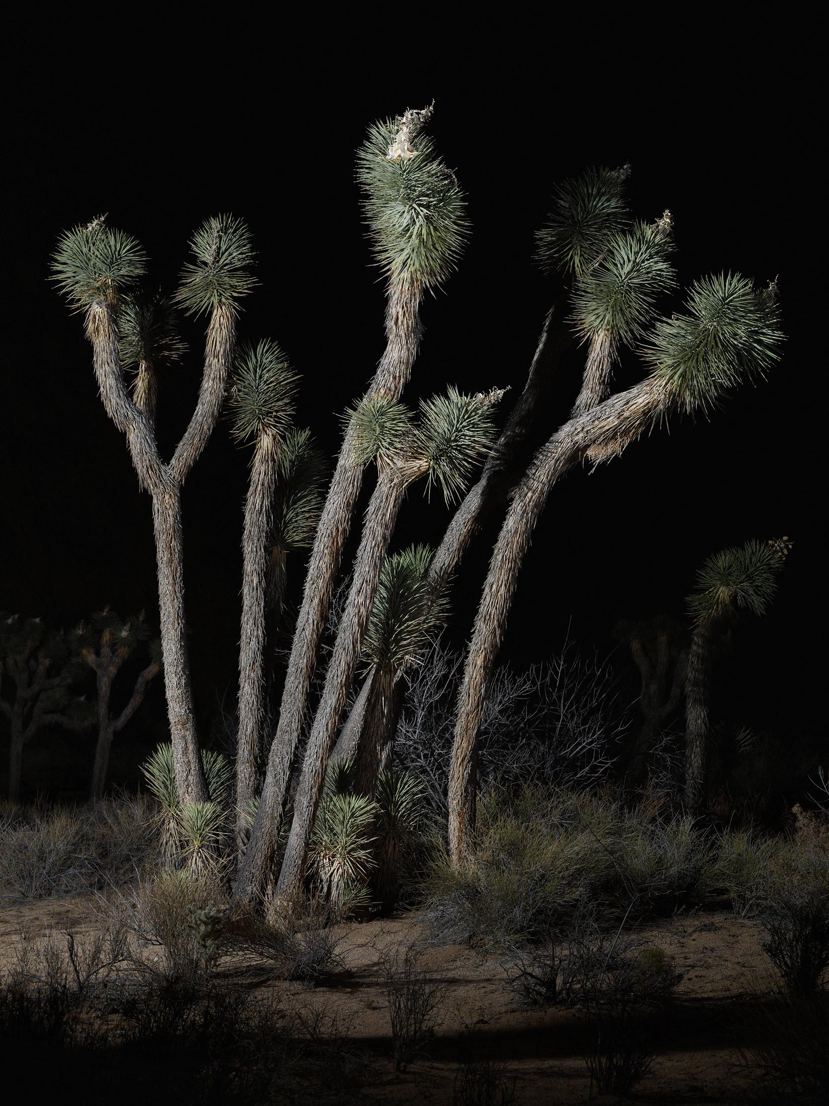tree #6    70x94 in/180x239cm  1+1AP 60x80 in/152x203cm  2+1AP 45x60 in/114x152cm  3+1AP 30x40 in/75x100cm  5+1AP