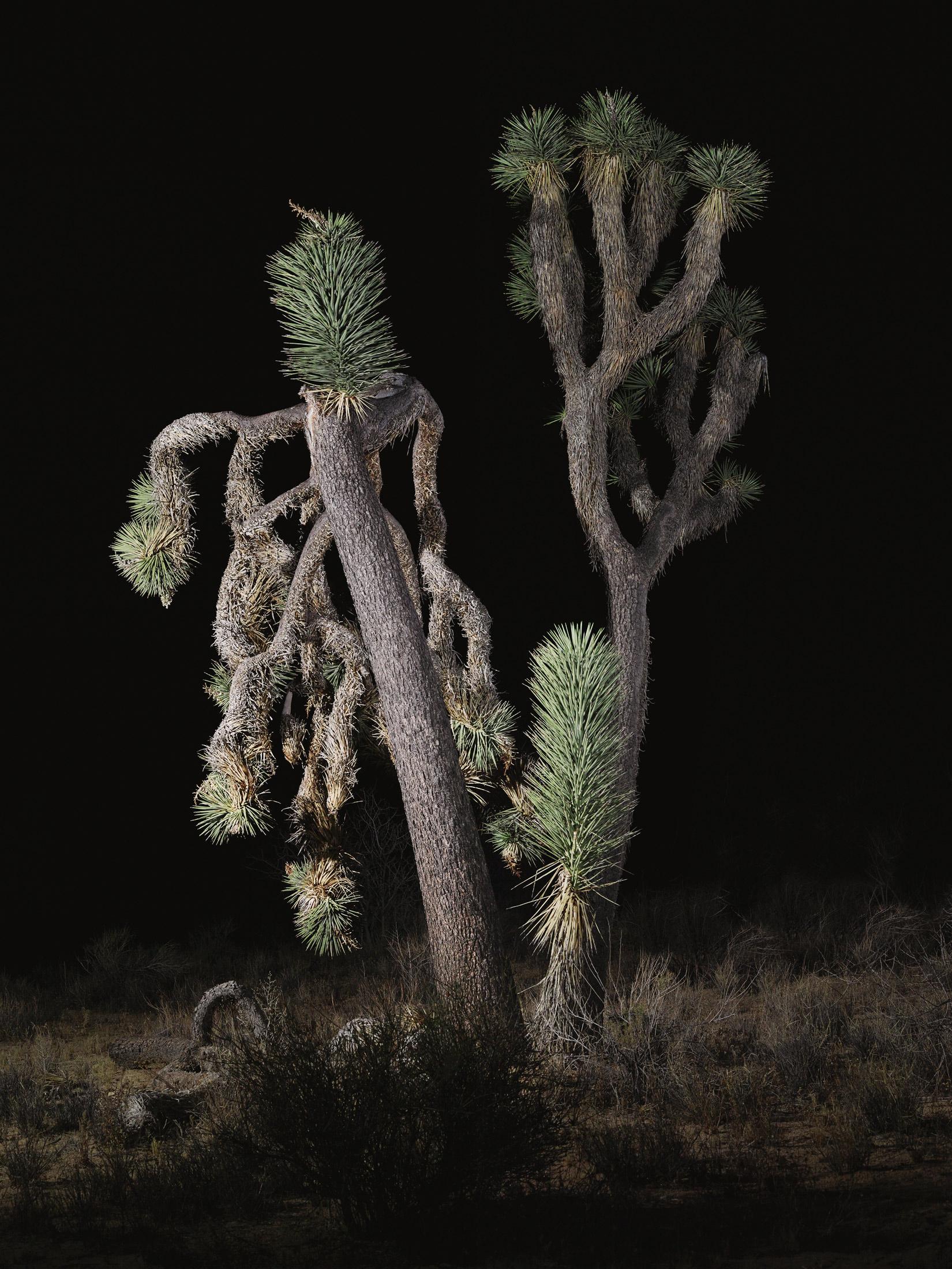 tree #8    70x94 in/180x239cm  1+1AP 60x80 in/152x203cm  2+1AP 45x60 in/114x152cm  3+1AP 30x40 in/75x100cm  5+1AP