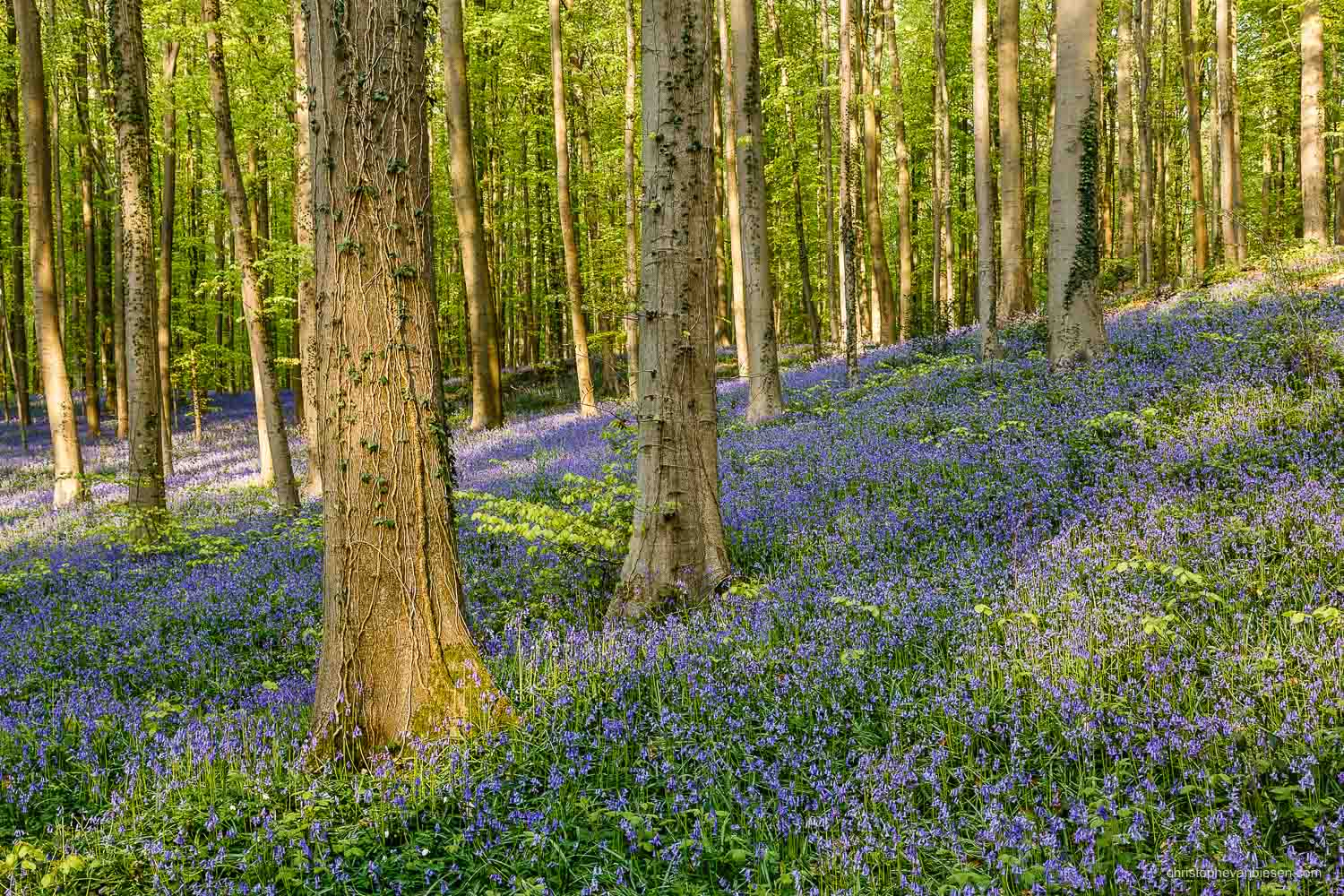 Hallerbos - Belgium - The bluebell forest of Halle, known as the Hallerbos, near Brussels, Belgium - Purple Sea