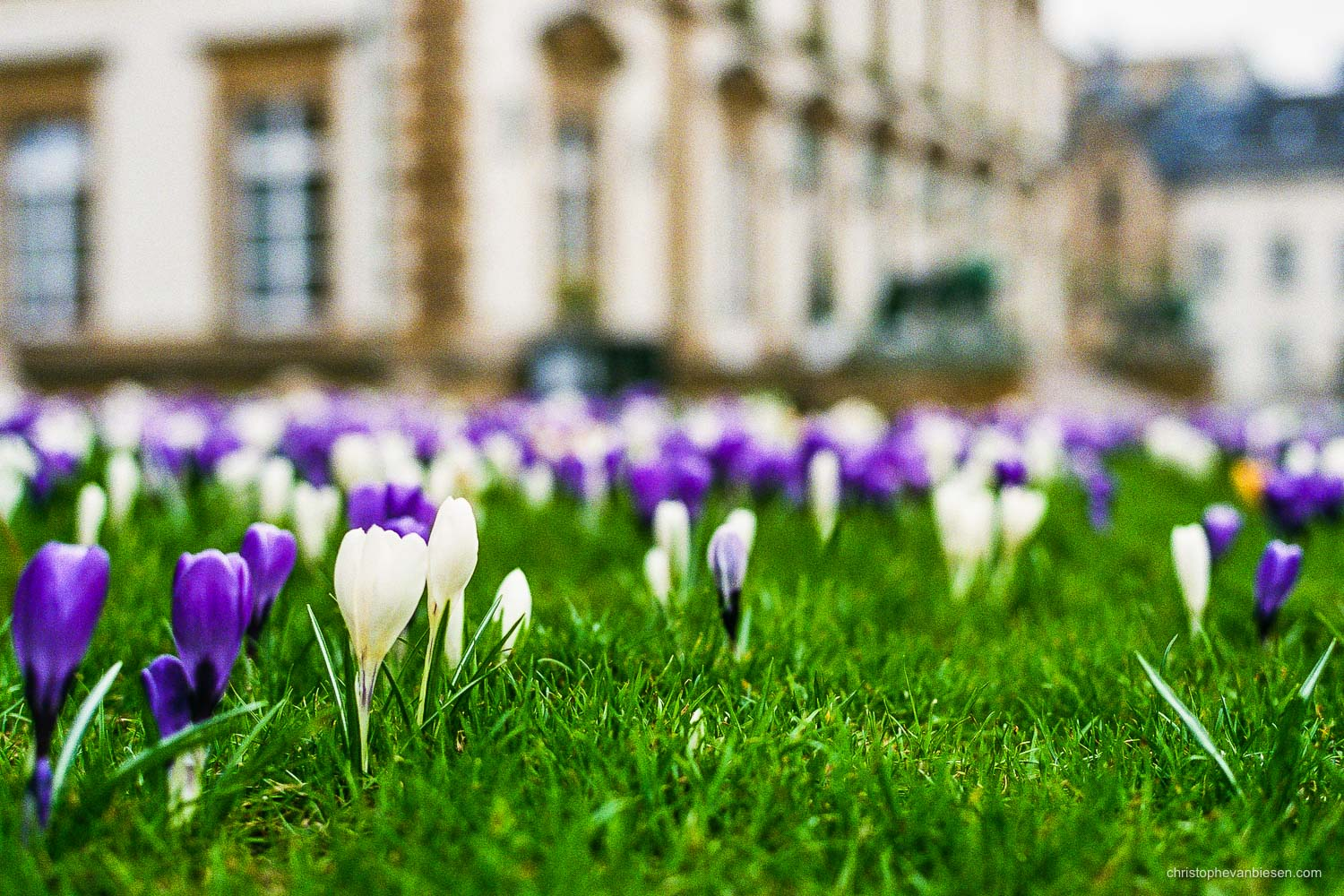 Spring in Luxembourg - Crocus flowers appear everywhere around the city of Luxembourg in celebration of spring's beginning - Defying Winter