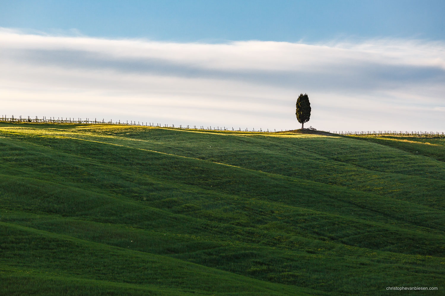 Tuscany - Italy - The day's last sunlight shines on a solitary cypress tree in Italy's Tuscany near San Quirico d'Orcia - Solitary Cypress