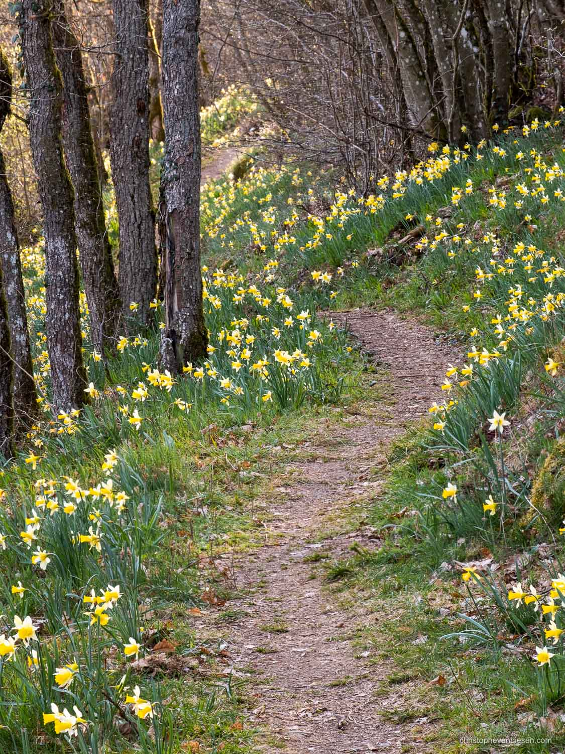 Luxembourg - The Via Botanica, also know as the path of the daffodils in Lellingen, Kiischpelt, Oesling, Luxembourg - Daffodil Forest