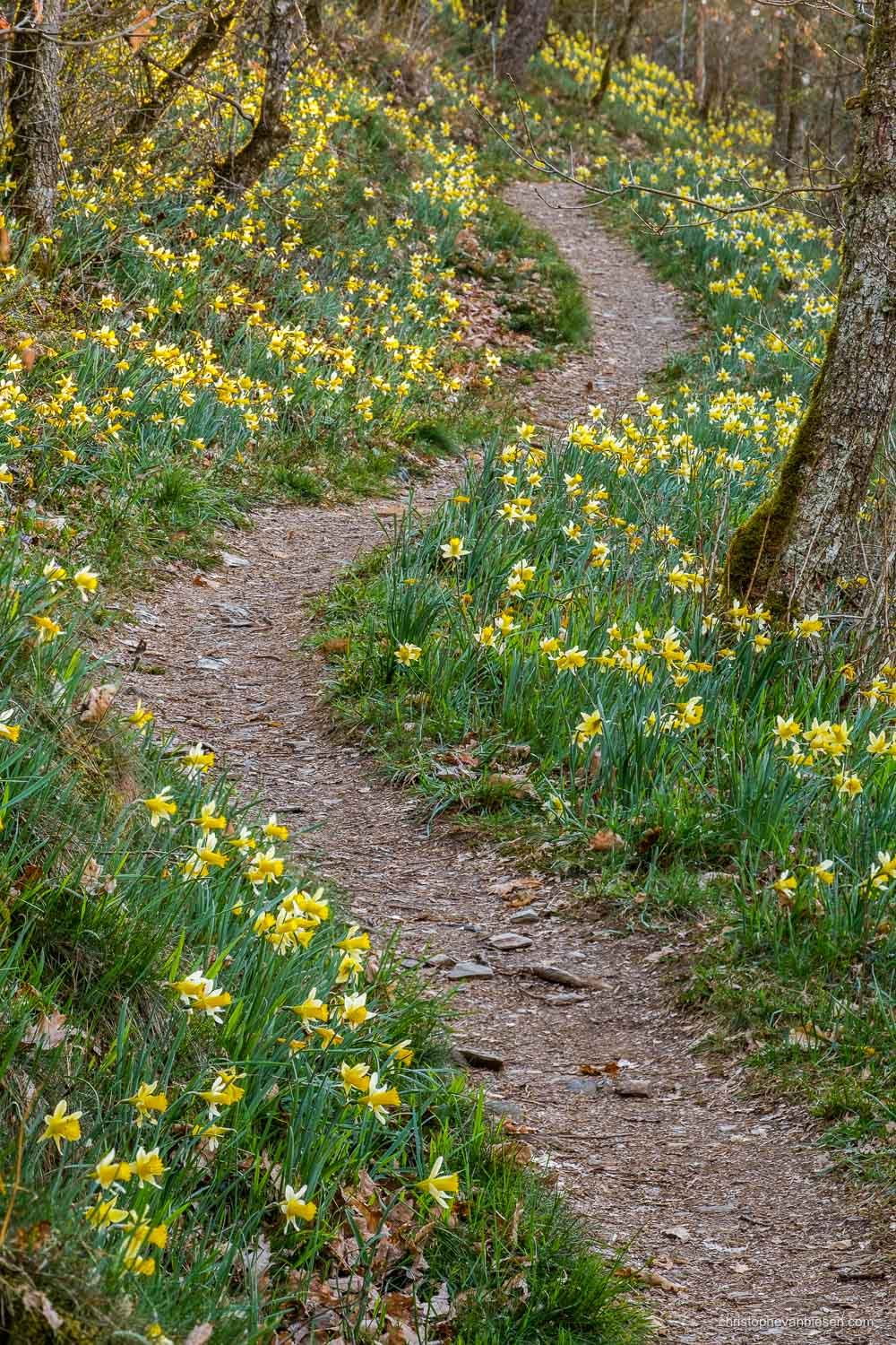 Luxembourg - The Via Botanica, also know as the path of the daffodils in Lellingen, Kiischpelt, Oesling, Luxembourg - Follow the Yellow Path