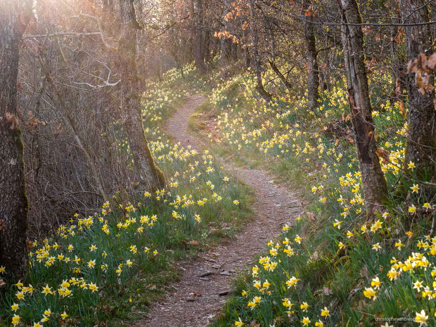 Luxembourg - The Via Botanica, also know as the path of the daffodils in Lellingen, Kiischpelt, Oesling, Luxembourg - Golden Spring