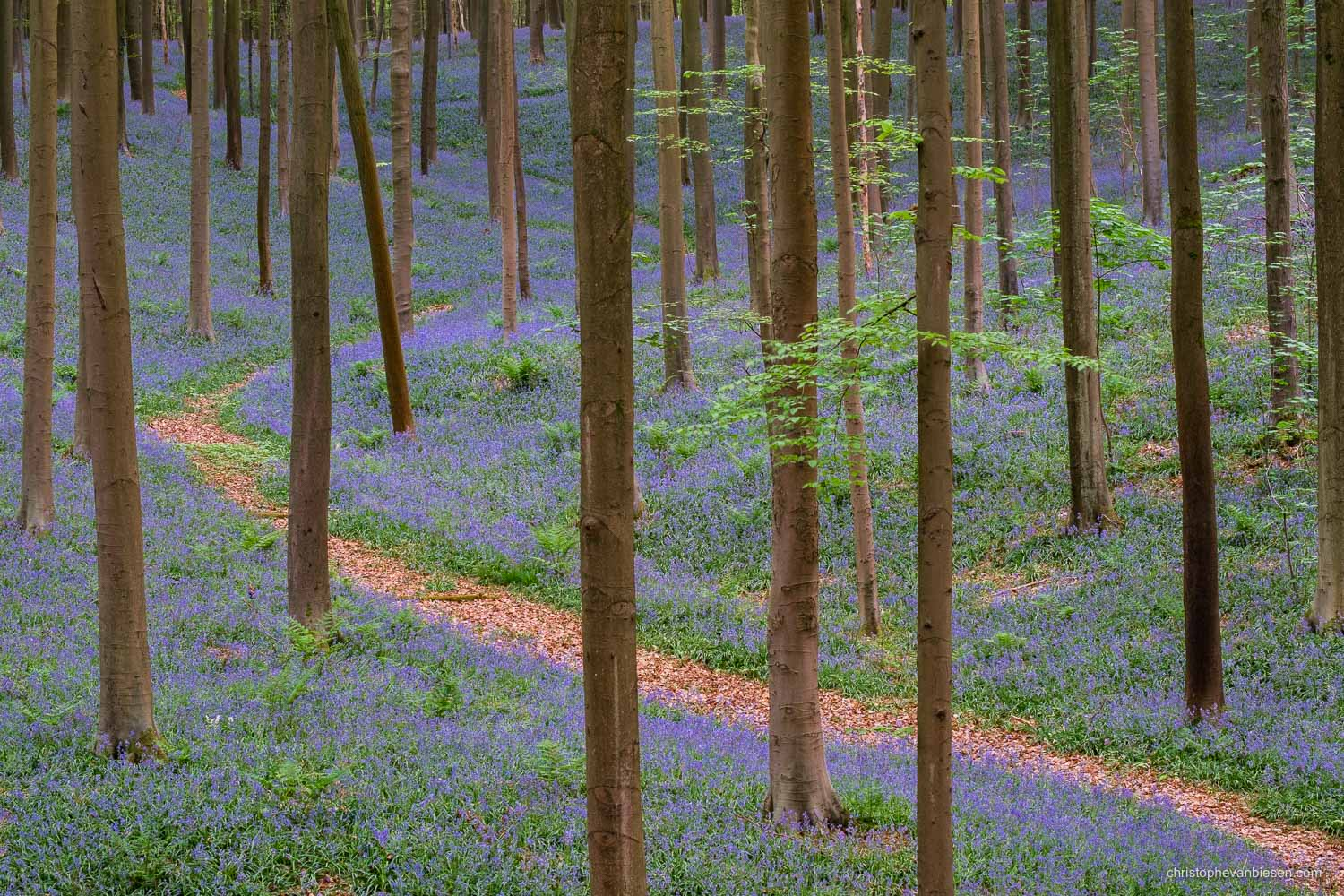 Hallerbos - Belgium - Classic view in the Hallerbos with a winding path and a carpet of bluebells - The Purple Path