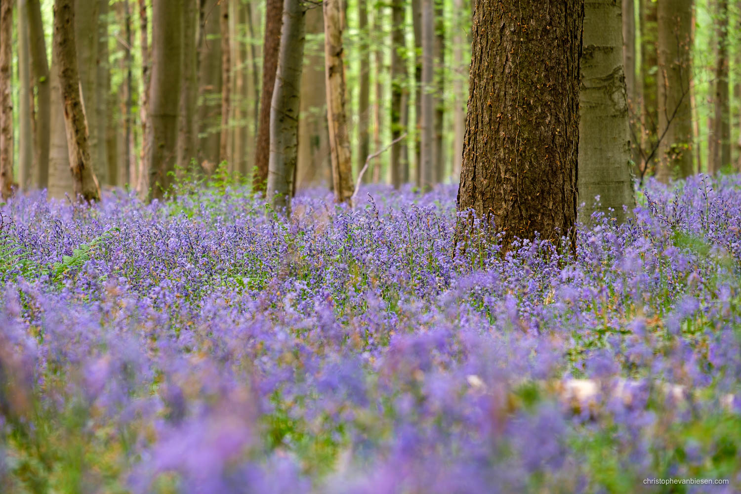 Hallerbos - Belgium - A carpet of bluebells covers most of the Hallerbos in spring - Sea of Bluebells