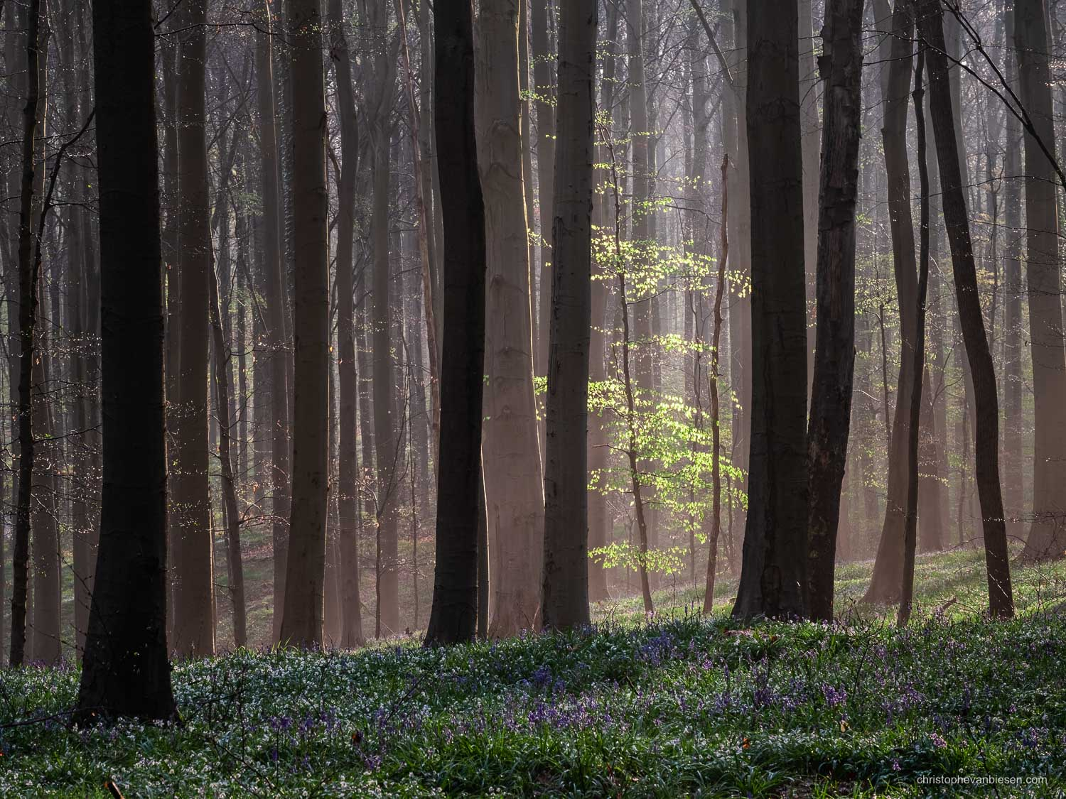 Hallerbos - Belgium - A lone young beech tree is lit up by the early morning light in the Hallerbos - In the Spotlight