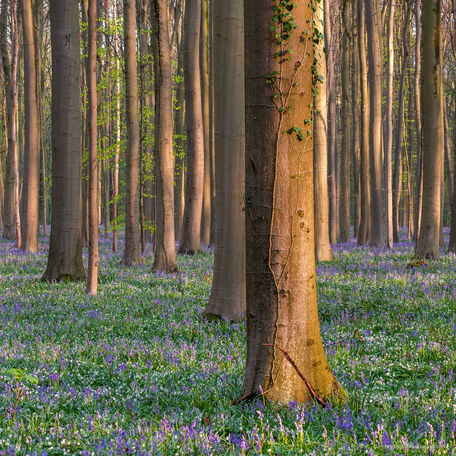 Hallerbos - Belgium - Sunrise in Belgium's bluebell forest - Anemones and Bluebells