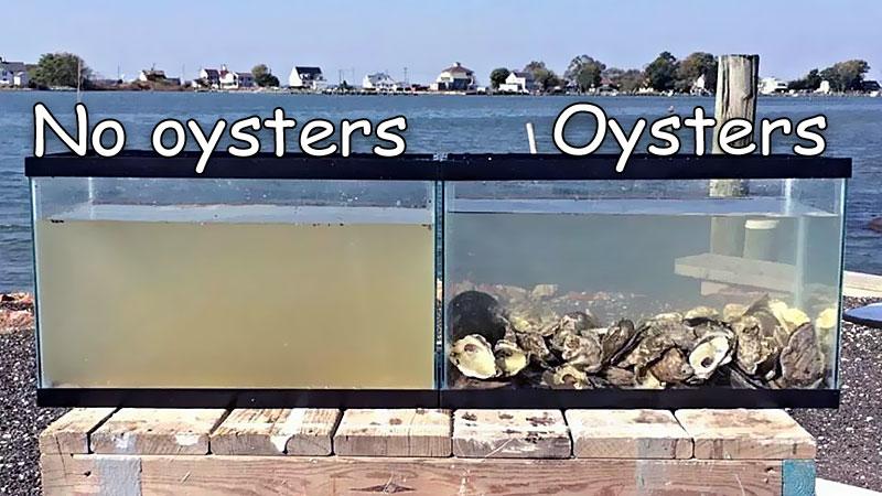 oysters-clean-water.jpg