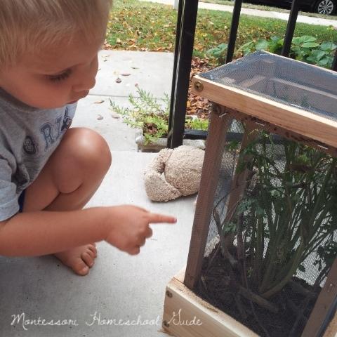 Watching Monarchs grow