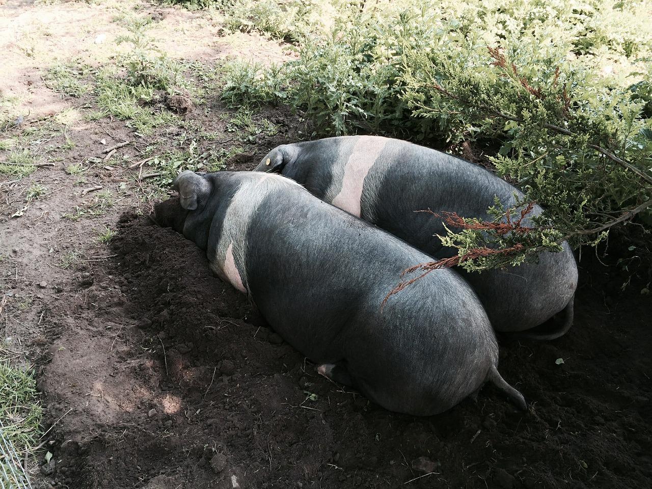full grown pig