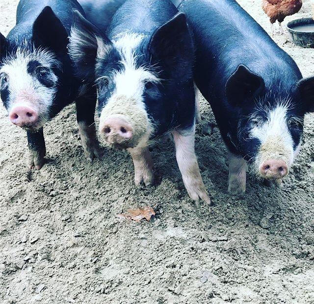 three amigos #cchfarm #berkshire #kurobotapork