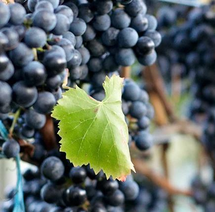 What Italian Wine Grapes Are Doing In Washington
