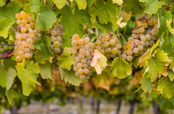 Why Chablis is the Purest Chardonnay - Thanks in part to La Chablisienne
