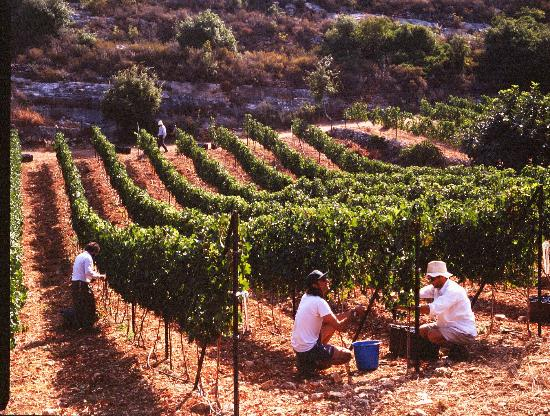 Judean winemakers ramp up drive for quality recognition