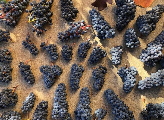 Oregon winemakers test blending in the vineyard