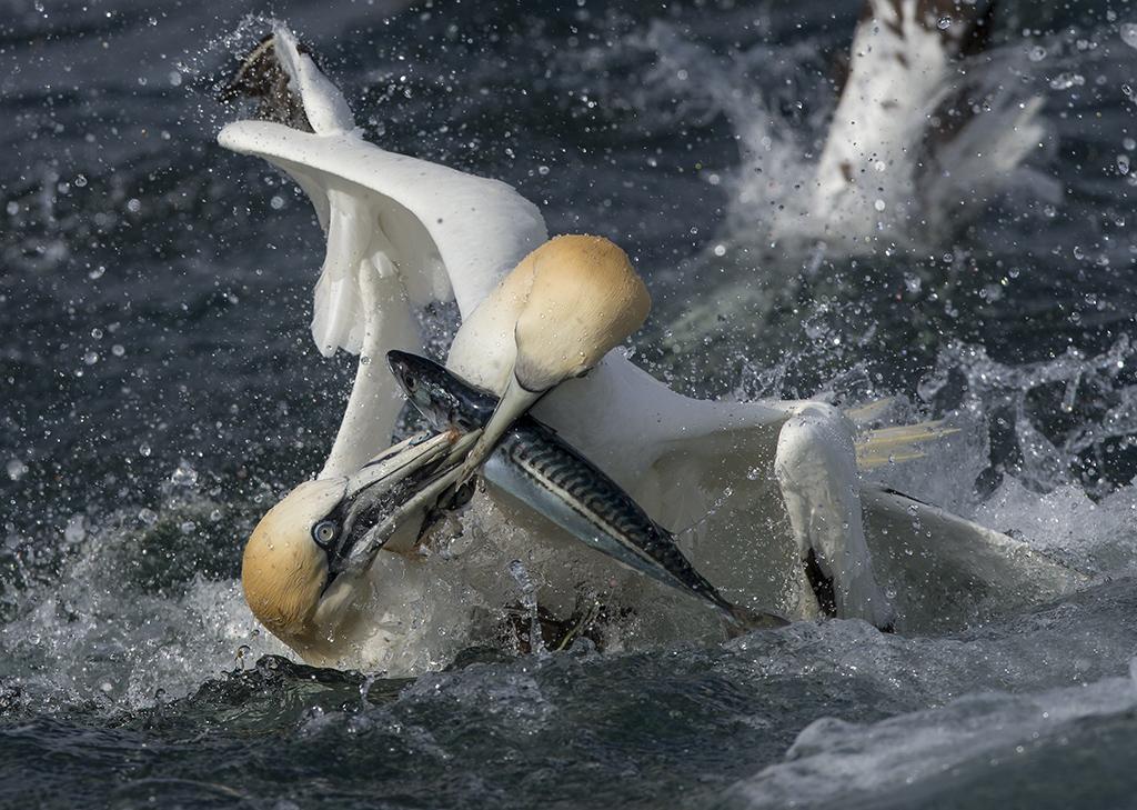 gannets4b copy.jpg