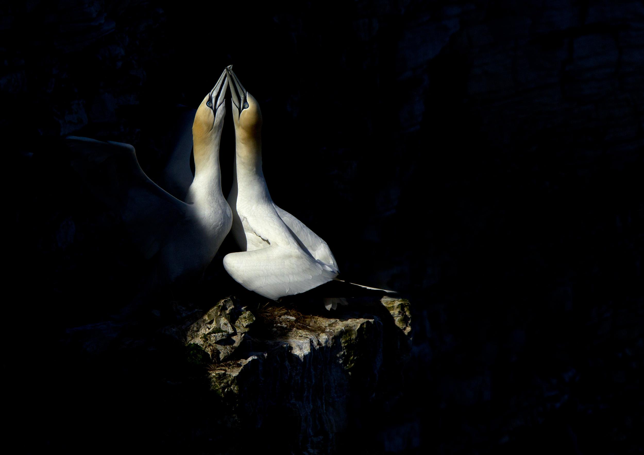 gannets3_A3.jpg