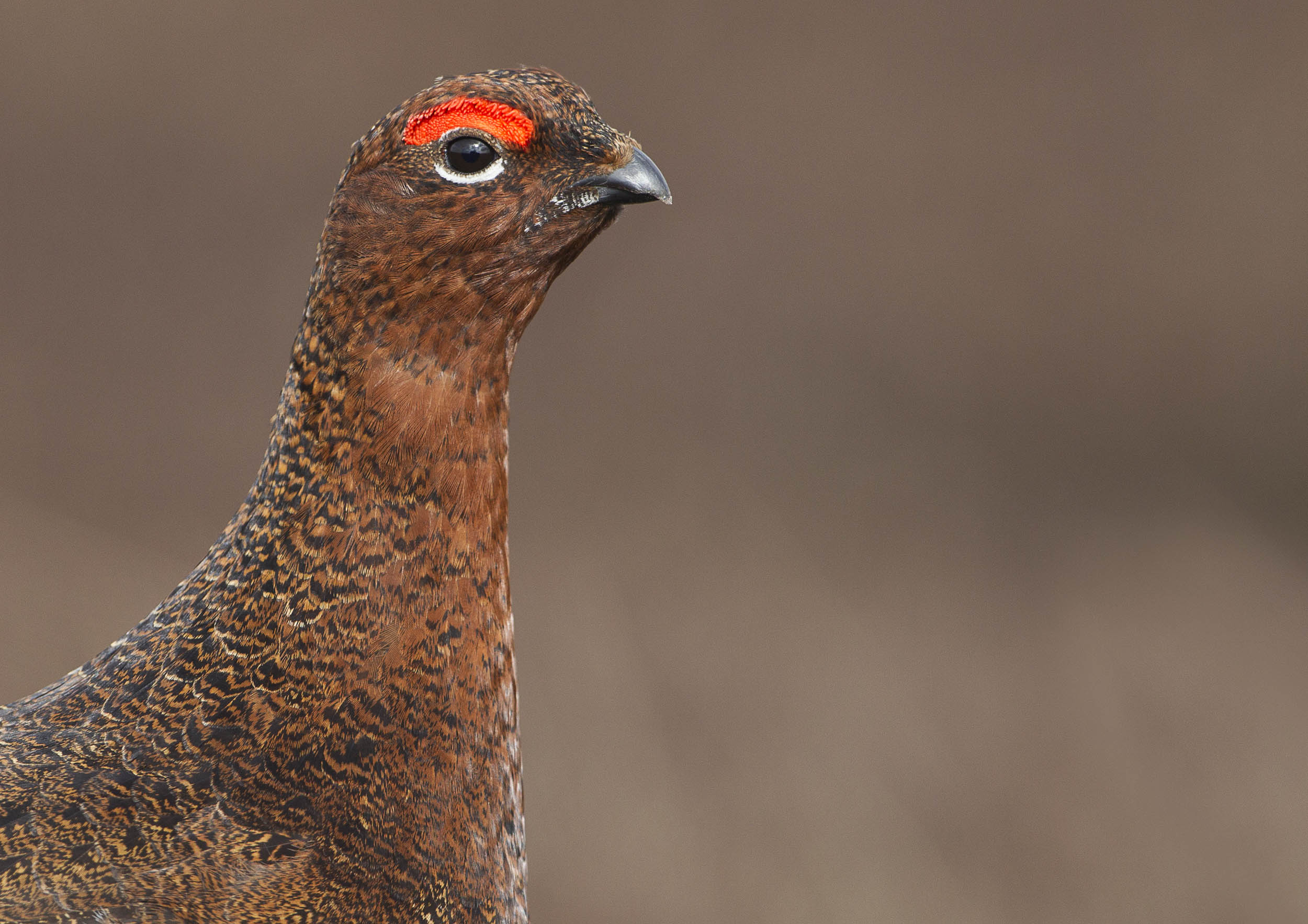 red_grouse1_A3.jpg