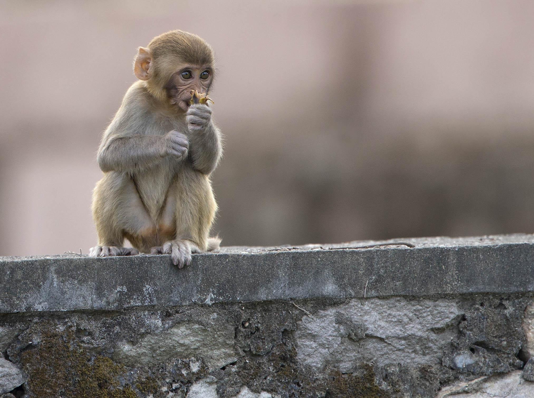 rhesus_macaque1_hr.jpg