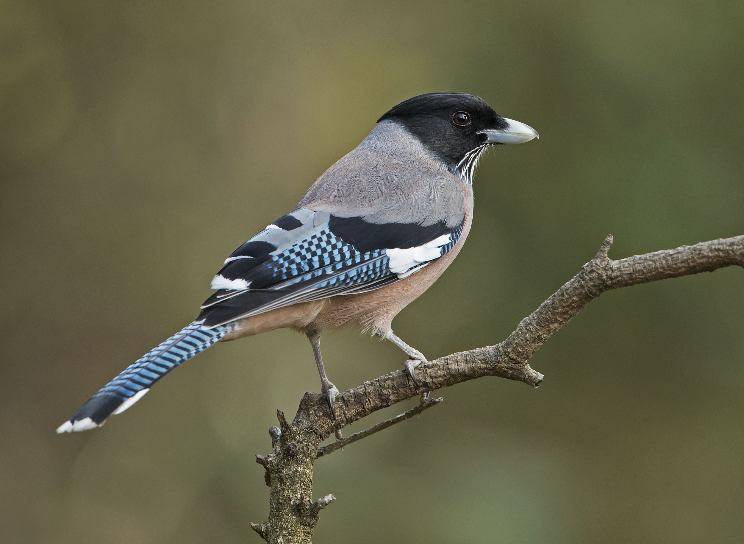 black_headed_jay2_hr.jpg