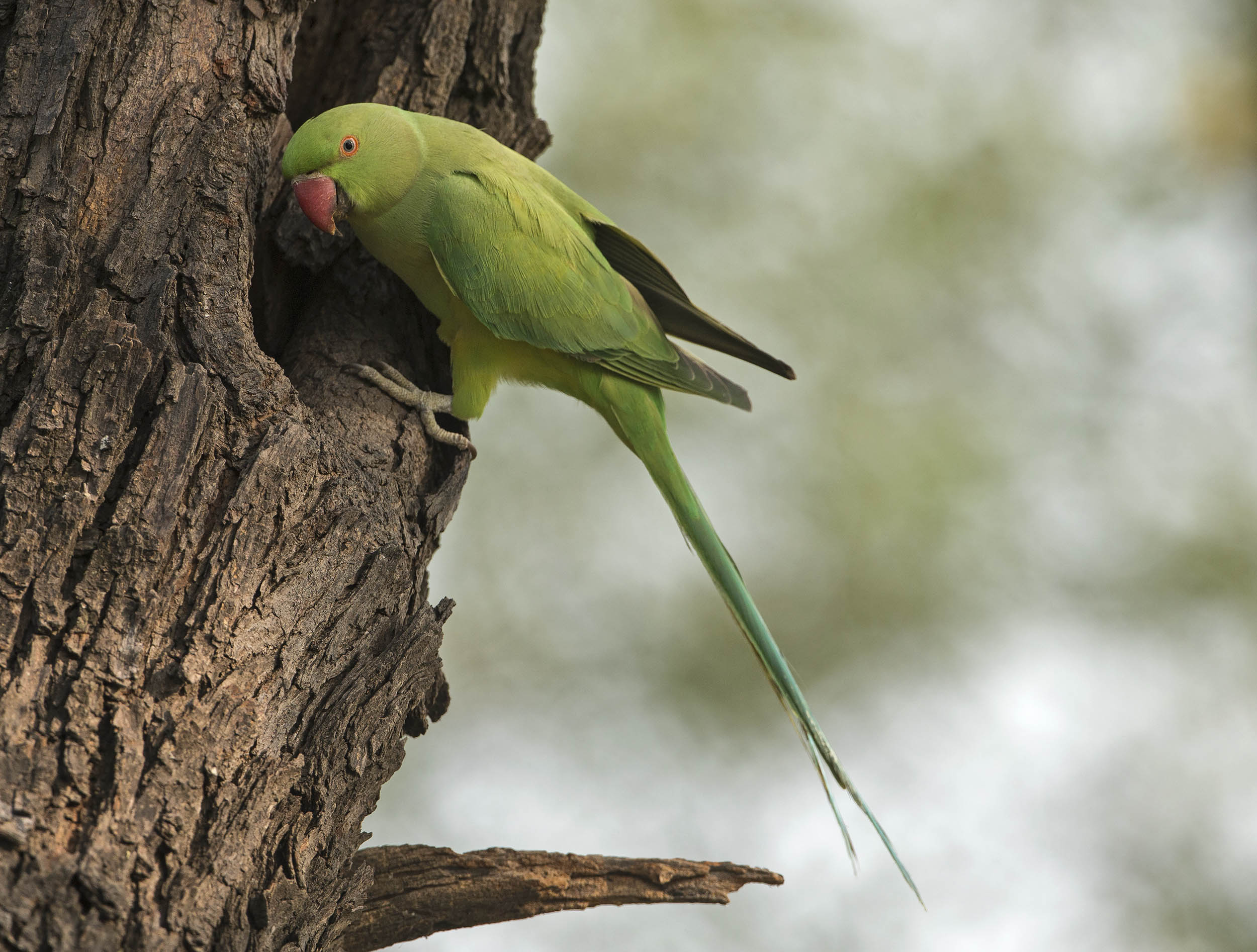 rose_ringed_parakeet2_hr.jpg