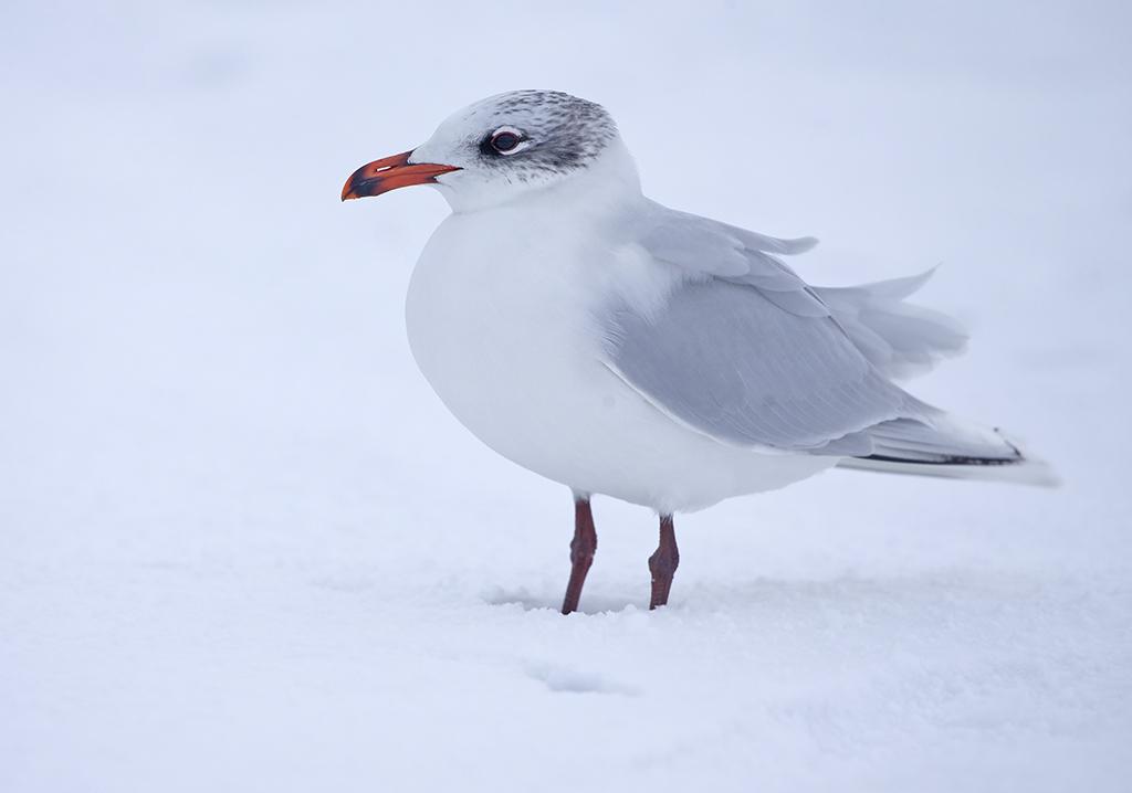 Mediterranean Gull (adult winter)