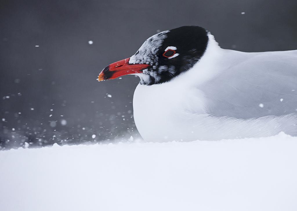 Mediterranean Gull (adult aproaching summer plumage)