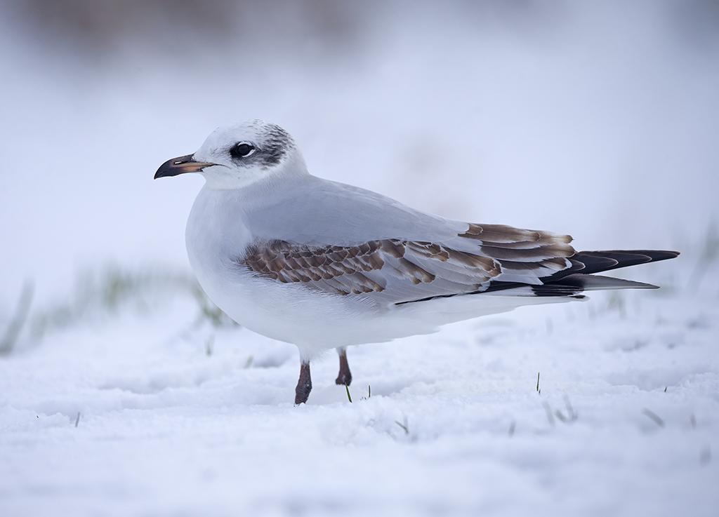 Mediterranean Gull (1st winter)