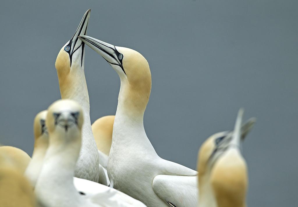 gannet4 (1).jpg