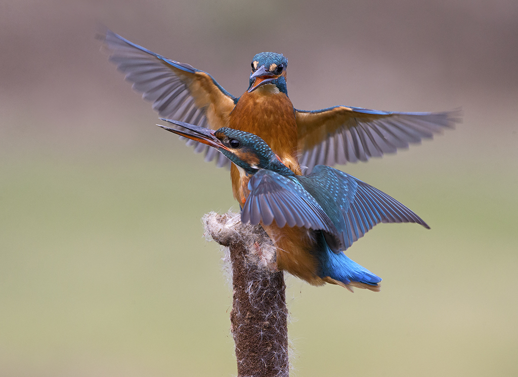 kingfisher9.jpg